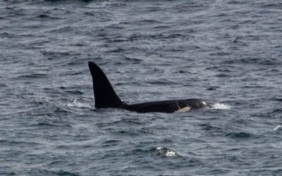 Killer Whales Spotted in Cornwall